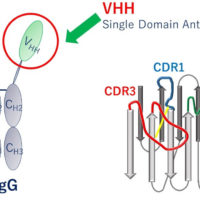Tracking structural changes and their reversibility for VHH antibodies using simultaneous CD/fluorescence measurements
